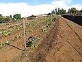 Starr-091020-8209-Colocasia esculenta-horticulture varieties-Kula Experiment Station-Maui (24892610351).jpg