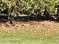 Starr-091023-8503-Acer buergerianum-fall foliage-Kula-Maui (24619127999).jpg