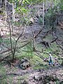 Starr-091115-1213-Aleurites moluccana-habit with Forest-Olinda-Maui (24990057365).jpg
