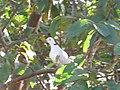 Starr-100113-1208-Psidium guajava-branches with ringneck dove-Waihee-Maui (24913395891).jpg