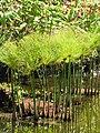 Starr-110307-2019-Cyperus papyrus-habitat in koi pond-Kula Botanical Garden-Maui (25077426105).jpg