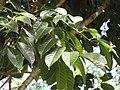 Starr-110330-4044-Canarium ovatum-leaves-Garden of Eden Keanae-Maui (24962997692).jpg