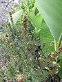 Starr-110331-4601-Erica lusitanica-flowers and leaves-Shibuya Farm Kula-Maui (25081980175).jpg