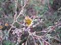 Starr-110601-5996-Lactuca sativa-flower-Kula-Maui (25003200301).jpg