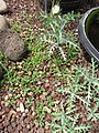 Starr-120504-5528-Argemone glauca-habit with seedlings-Maui Nui Botanical Garden-Maui (24515352033).jpg