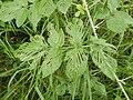 Starr-140603-0632-Rubus niveus-leaves with chewing-Waipoli Rd-Maui (25149762591).jpg