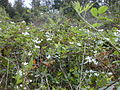 Starr 010423-0035 Rubus argutus.jpg