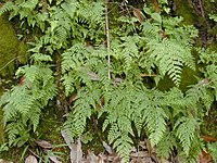 Starr 020803-0079 Sphenomeris chinensis.jpg