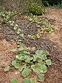 Starr 041102-0366 Solanum nelsonii.jpg