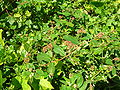 Starr 050222-4137 Chamaesyce hypericifolia.jpg