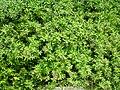 Starr 060422-7784 Pluchea carolinensis.jpg