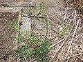 Starr 070215-4484 Ciclospermum leptophyllum.jpg
