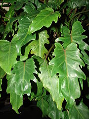 180px-Starr_070906-8756_Philodendron_sp. Palm House Plant Fig Leaf on orange house plant, rosemary house plant, magnolia house plant, patchouli house plant, cypress house plant, cinnamon house plant, coconut house plant, vetiver house plant, lily house plant, basil house plant, almond house plant, ficus house plant, vanilla house plant, strawberry house plant, lavender house plant, mandarin house plant, rose house plant, lemon house plant, sage house plant, flower house plant,