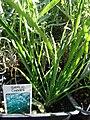 Starr 080103-1291 Allium tuberosum.jpg