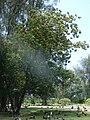 Starr 080531-4741 Albizia lebbeck.jpg