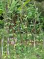 Starr 080610-8329 Vigna unguiculata subsp. sesquipedalis.jpg