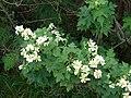 Starr 081230-0643 Montanoa hibiscifolia.jpg