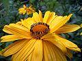 Staudensonnenblume-makro01.jpg