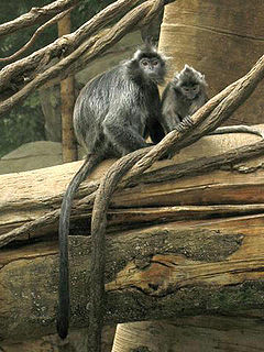 Silvery lutung Species of Old World monkey