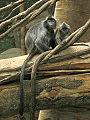 Stavenn Trachypithecus cristatus 01.jpg