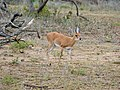 Steenbok (Raphicerus campestris) male (12025028305).jpg