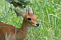 Steenbok (Raphicerus campestris) male (17238347366).jpg
