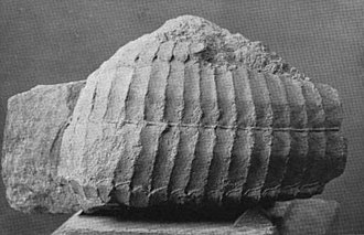 Aetosaur - Photograph of the carapace of Stegomus, described by Marsh in 1896
