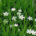 Stellaria holostea003.jpg