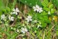 Stellaria holostea in Aveyron (8).jpg