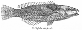 Stethojulis strigiventer