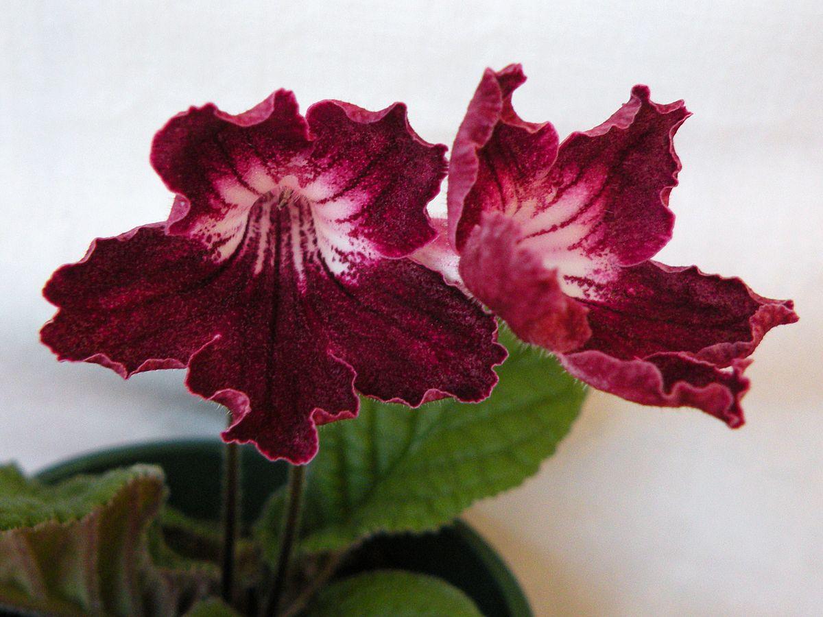 streptocarpus wikipedia - Red Flowering House Plants
