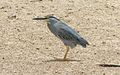 Striated heron Senegal.jpg