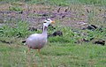 Stripgås Bar-headed goose (14334262518).jpg