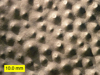 Stromatoporoidea - Top view of a stromatoporoid showing mamelons; Columbus Limestone (Devonian) of Ohio.
