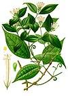 Strychnos toxifera - Köhler–s Medizinal-Pflanzen-267.jpg
