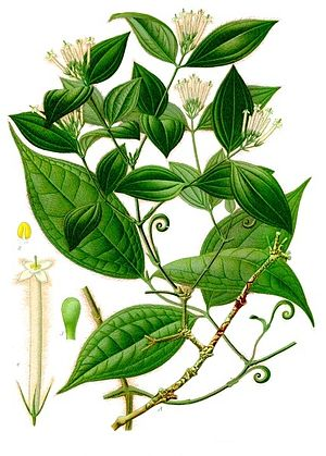Arrow poison - Strychnos toxifera, a plant commonly used in the preparation of curare