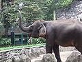Sumatran elephant Ragunan Zoo.JPG