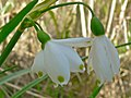 Summer Snowflake (Leucojum aestivum pulchellum) (8342579660).jpg