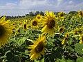 Sunflower field, Fengxian, Shanghai, Sept 27 2019 02.jpg