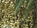 Sur-maad (Marathi- सुरमाड) (5493561161).jpg