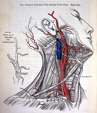 Henry Vandyke Carter - Image: Surgical Anatomy of the Arteries of the neck Gray's Anatomy 1858