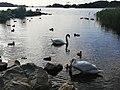 Swans Killarney.jpg