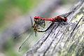 Sympetrum sanguineum Blutrote Heidelibelle Paar.jpg