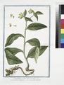 Symphytum majus, tuberosa radice - Consolida maggiore - Le Grande Consoude. (Common Comfrey) (NYPL b14444147-1125061).tiff
