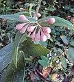 Syzygium Munronii 09.JPG