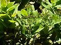 Syzygium cordatum, loof en bloeiwyses, b, Jan Celliers Park.jpg