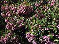 Syzygium smithii (13368821554).jpg
