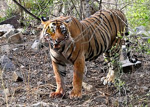 Sawai Madhopur - T24, the largest tiger in Ranthambore National Park