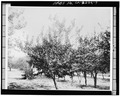 TREES PLANTED IN BEDS FOR EXPERIMENT PURPOSES. - Gold Ridge Farm, 7777 Bodega Avenue, Sebastopol, Sonoma County, CA HABS CAL,49-SEBA,1-7.tif