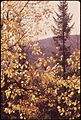 TREMBLING ASPEN LEAVES AND A BALSAM FIR SPIRE ON BLUE RIDGE ROAD - NARA - 554735.jpg